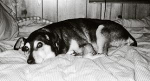Ninna - healing Companions Service Dog